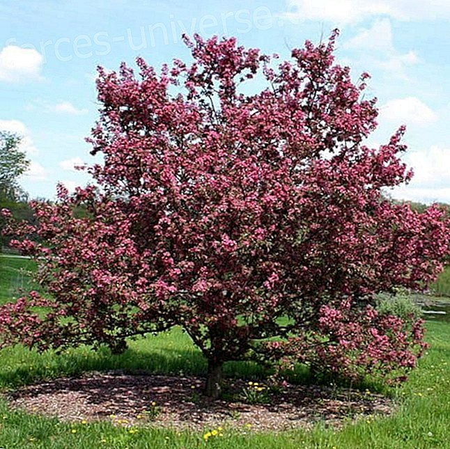 Bach flowers: Crab Apple