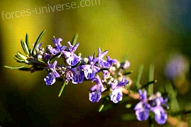 Discover the magical properties of rosemary