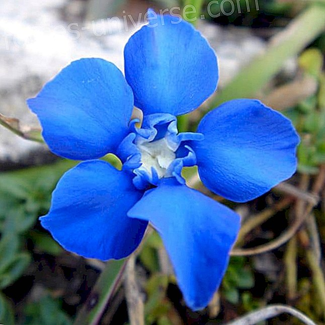 Bachi lilled: Gentian